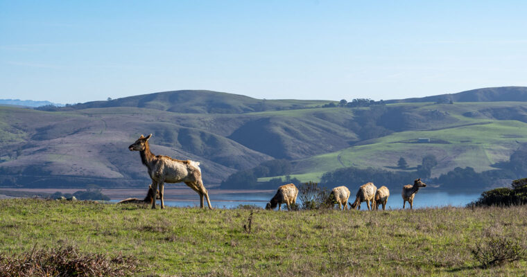Elk & Elephant Seals at Point Reyes National Seashore